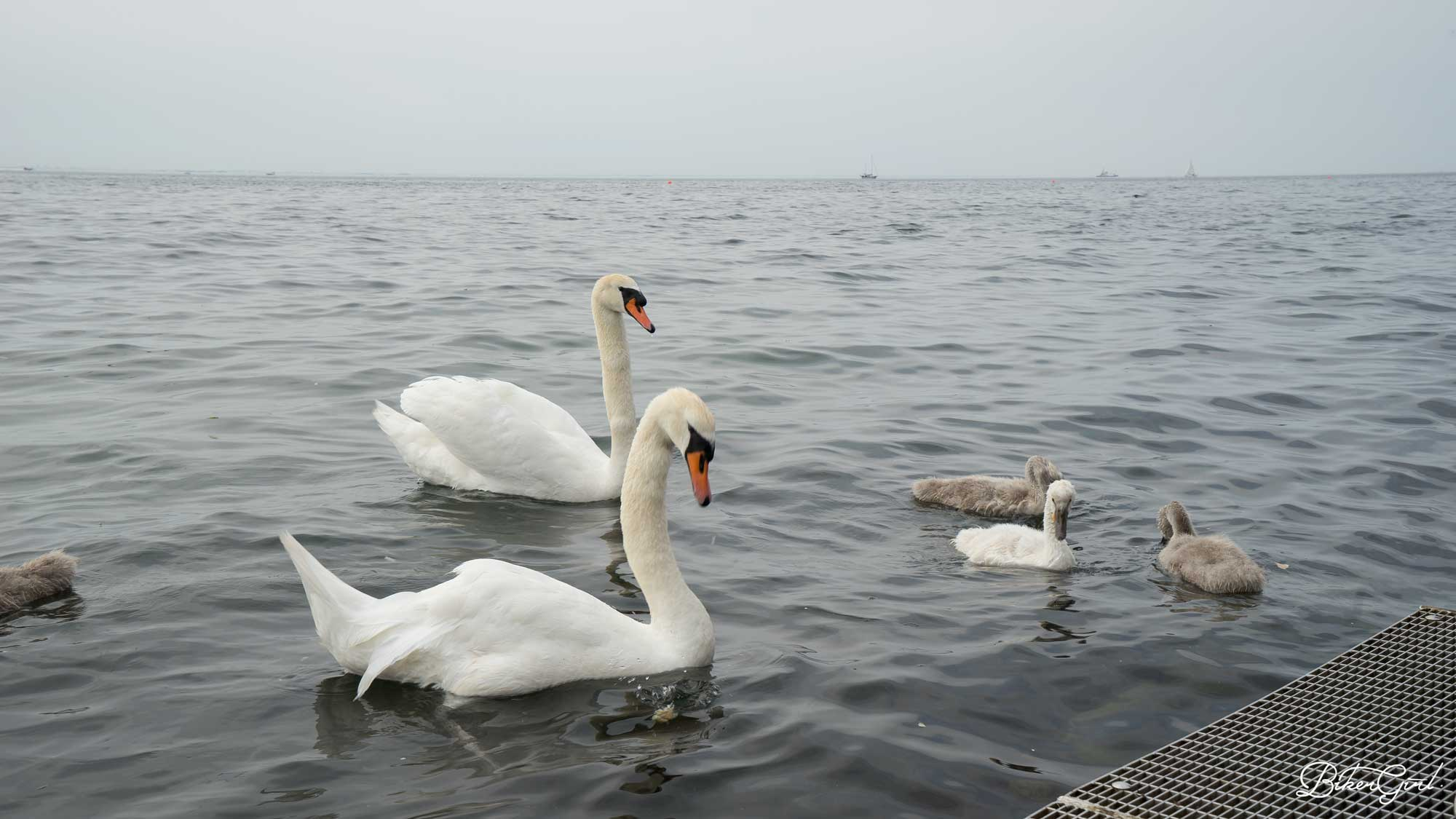 Swimming with the swans